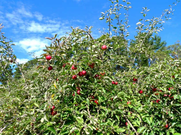apple picking summertown