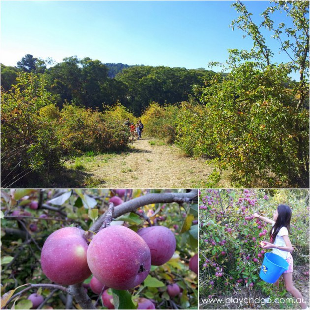 apple picking summertown 2015 (2)