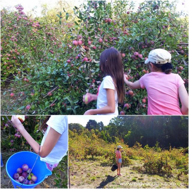 apple picking summertown 2015 (4)