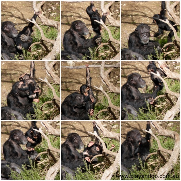 monarto-zoo-chimp-and-baby