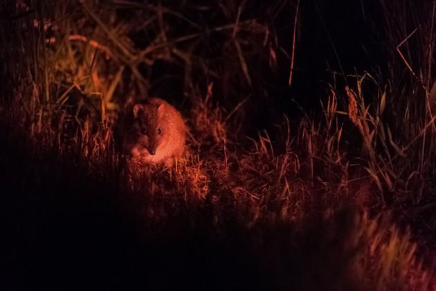Cleland night walk image