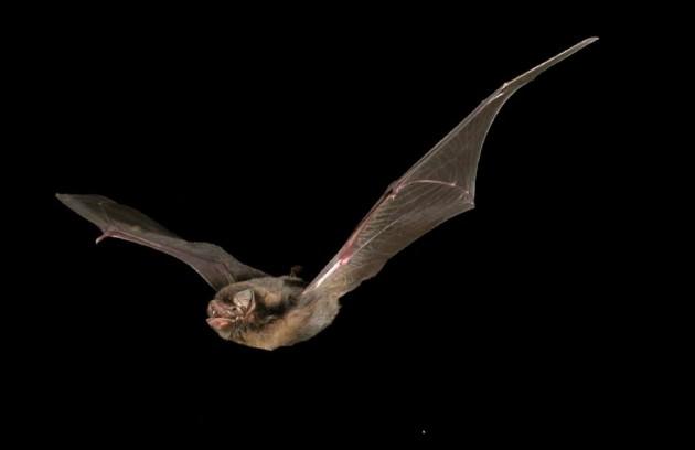 Bentwing Bat 3