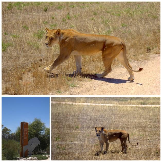 Monarto Zoo lions
