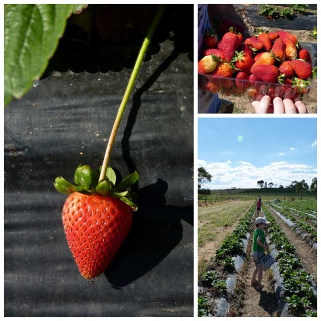 Pick Your Own Strawberries - Beerenberg Farm 2017/18 ...