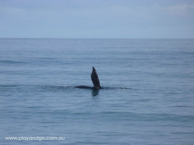 Whale Watching Season Victor Harbor May - October