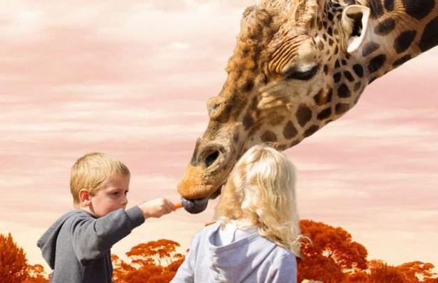 Monarto giraffe