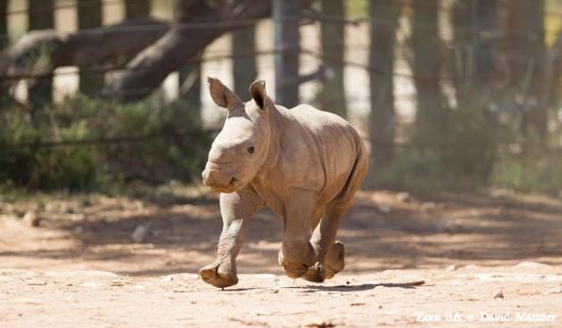 Monarto rhino