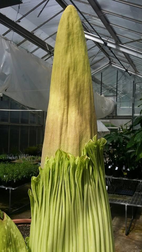 Corpse Flower Mount Lofty