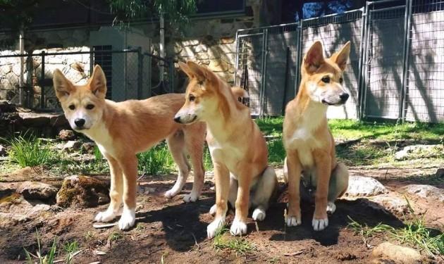 Birthday dingoes