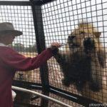 monarto zoo lions 360