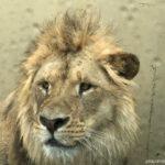 Lions 360 Monarto zoo