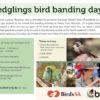 fledglings bird banding day