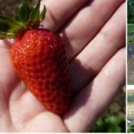 Adelaide Strawberry Picking