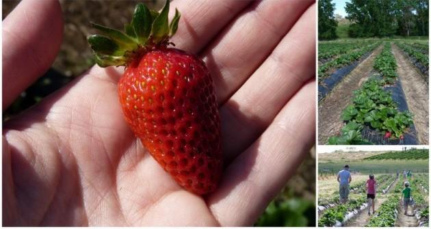 Adelaide Strawberry Picking