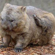 cleland wildlife park fred wombat