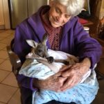 A carer looking after a kangaroo Image Credit Willow Wood Sanctuary