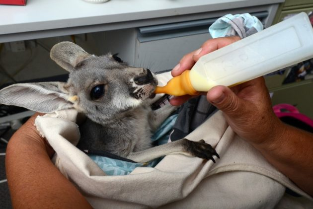 RSPCA-rescue-officers-helping-a-baby-kangaroo1