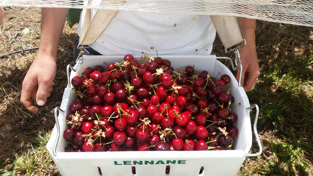 lennane orchards