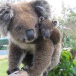 koala warrwong