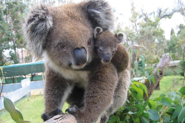koala petition