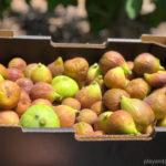 fig picking