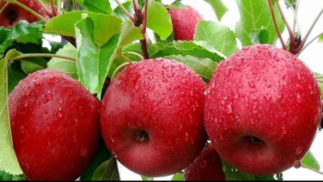 drive through pink lady apples