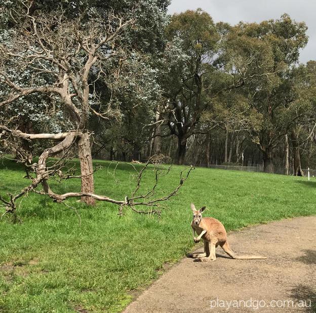 cleland wildlife park kangaroo