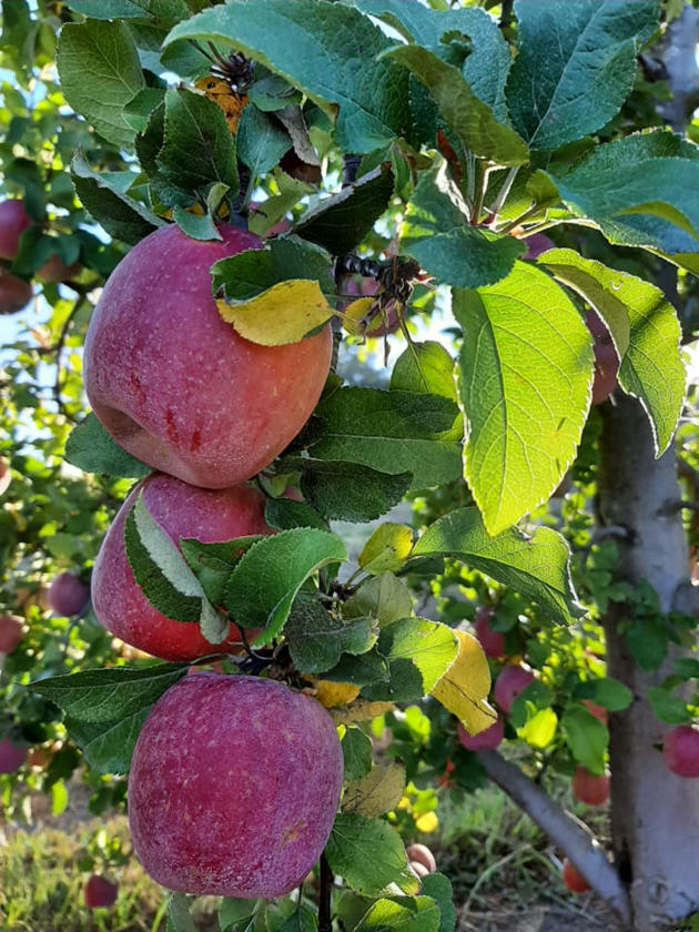 mahnew orchard